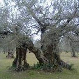 サンフェリーチェの木