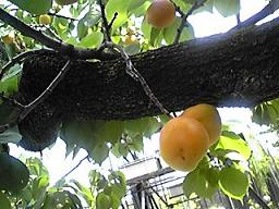 庭の古木のあんずとオリーブオイル